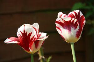 Spring of hope! Tulips in Harsh's garden